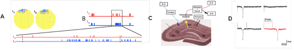 Figure 1. A: Place cell firing fields of cell 1A and cell 1B. B: Time stamps representing spike times for each place cell (1A and 1B). C: In vitro setup. Time stamps for place cell spikes are used to form sequence of 0 and 1 values in computer memory that are transformed into pulses by digital-to-analog (D/A) converters; the D/A outputs, in turn, drive stimulators. In C, Schaffer collateral stimulation is controlled by the activity of the blue cell and current passed through the patch electrode elicits post-synaptic spikes according to the activity of the red cell. D: (Top left) Excitatory postsynaptic current (EPSC) occurrence and (top right) EPSC failure observed with the minimal stimulation method described in Isaac et al. (2009). (Bottom) Single synaptic site stimulation is confirmed by absence of paired-pulse facilitation of the EPSC at 20 milliseconds inter-pulse interval. [A-C from Isaac et al., 2009.]